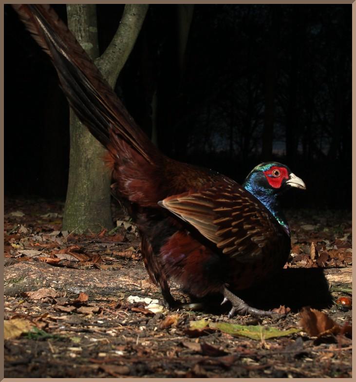 20140113_d5c_20131123_0749_099_fb2-pheasant-malermb-id768